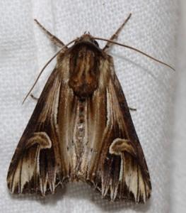 Actinotia polyodon, Gevlamde Uil 2013_07_31