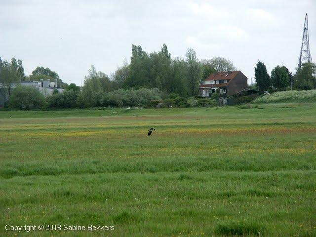 2005 5 9-5 kieviet vliegend (1)