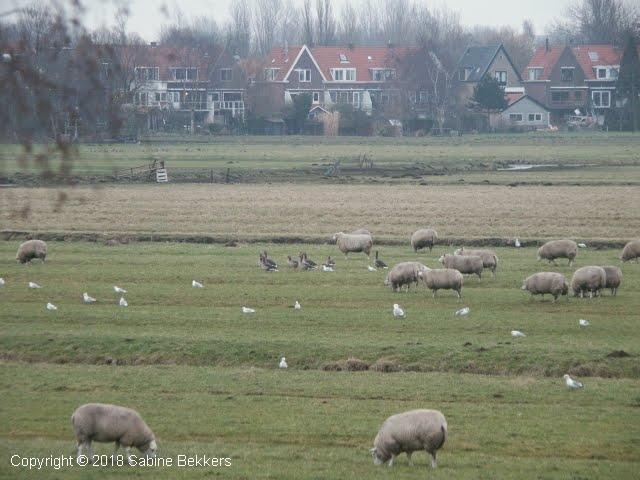 2006 1 31-1 Grauwe ganzen (0)