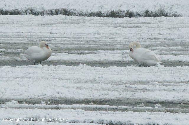 2006 3 1-3 zwanen en eenden in de Wimkebreek (5)
