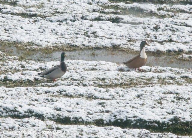 2006 3 1-3 zwanen en eenden in de Wimkebreek (7)