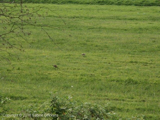 2006 5 15-5 jongen van grutto's en tureluurs (8)