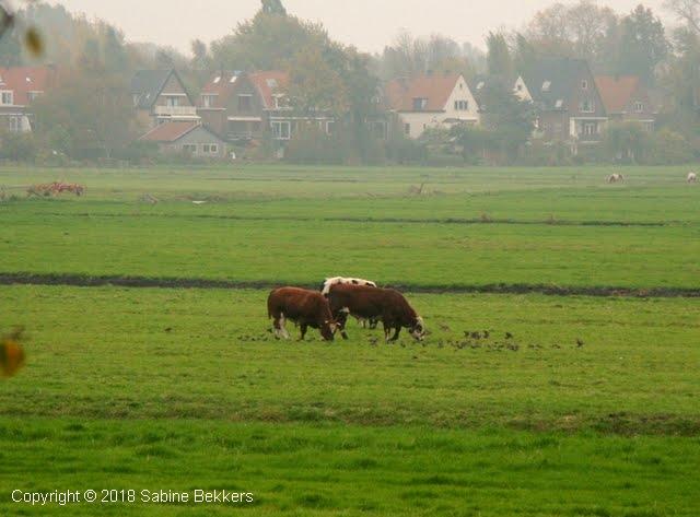2007 10 27-10 Spreeuwen en stieren