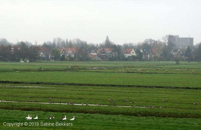 2007 11 13-11 ganzen eenden en schapen (1)