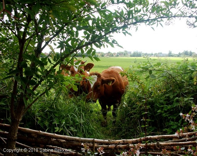 2008 8 2-8  koeien