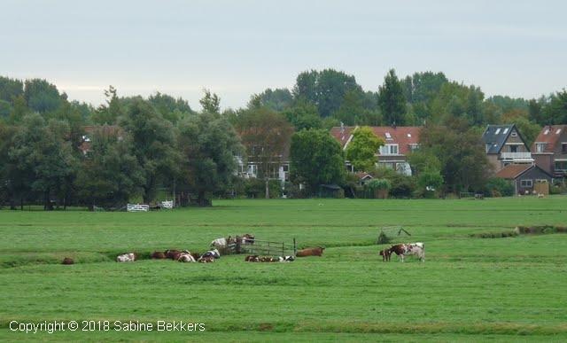 2009 10 1-10 koeien