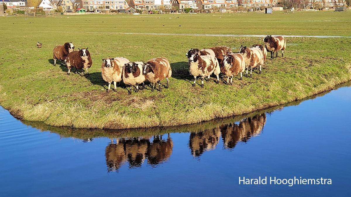 Harald-Hooghiemstra-20210402_schapen
