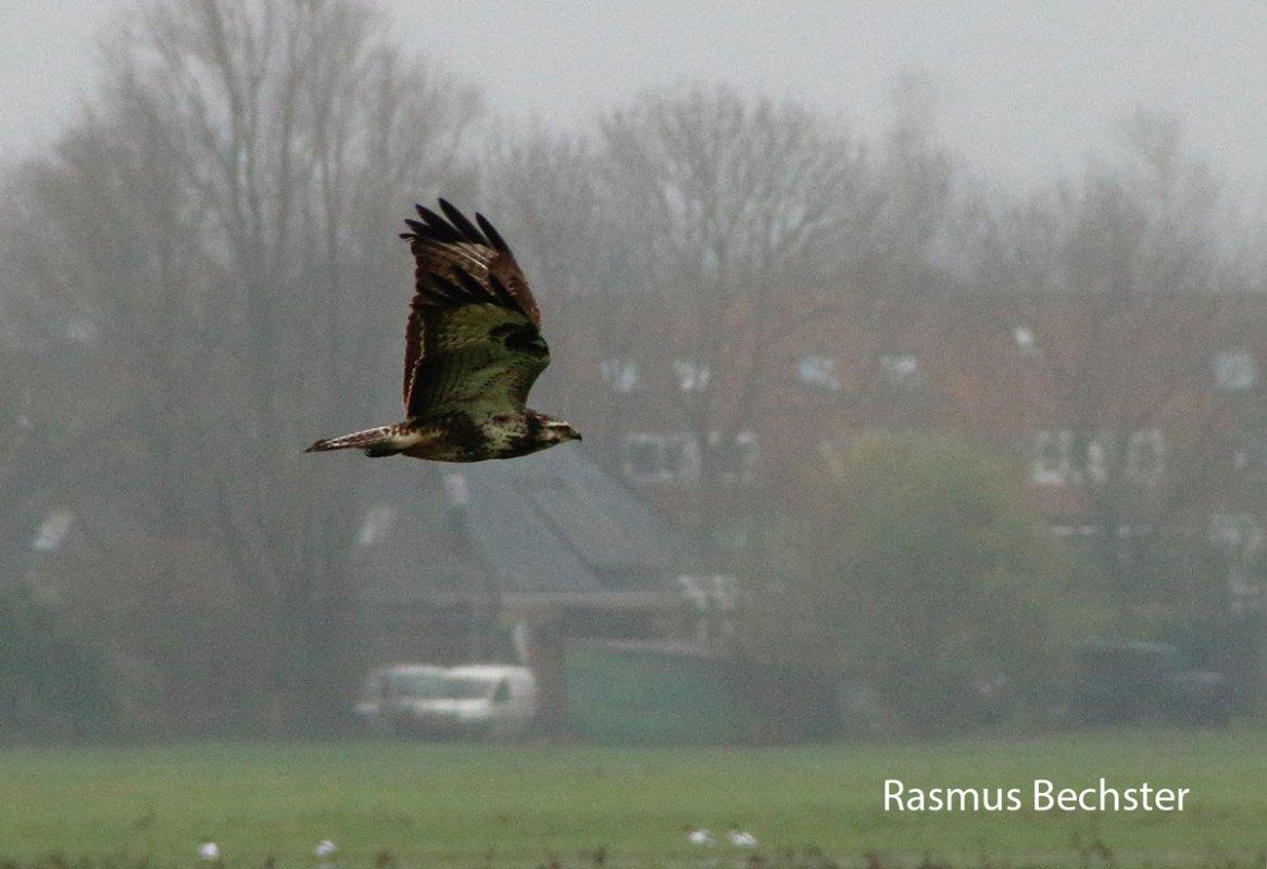Rasmus-Bechster-buizerd-aangepast-LR