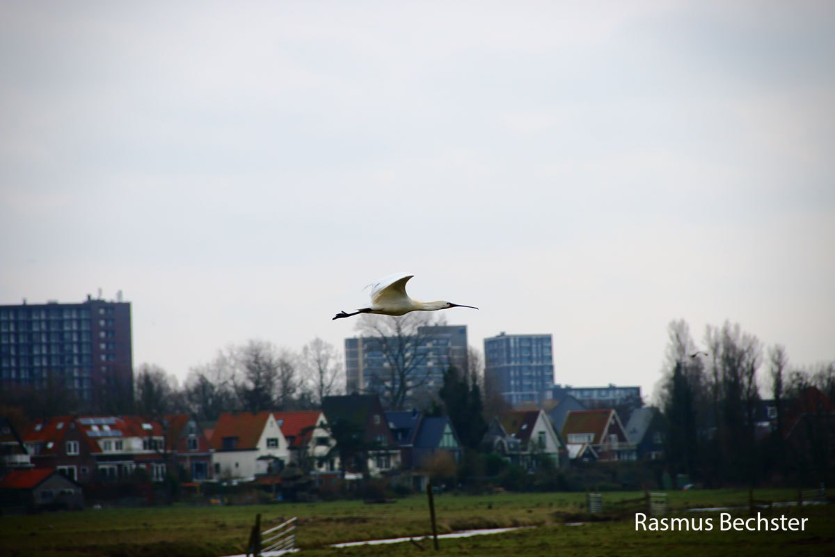 Rasmus-Bechster-lepelaar-03