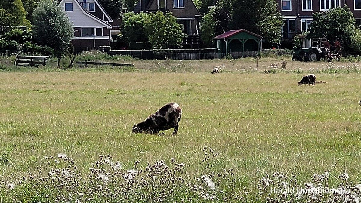 Harald-zomer21-grazend-schaap-LR