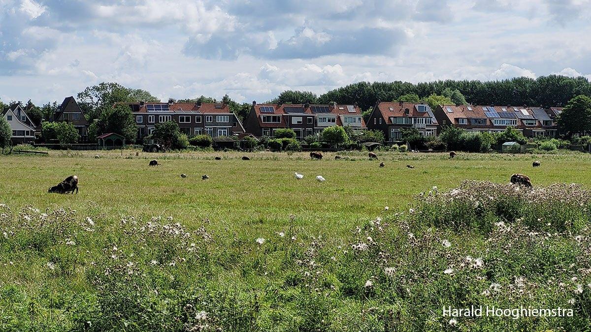 Harald-zomer21-polder-lepelaar-schaap-LR