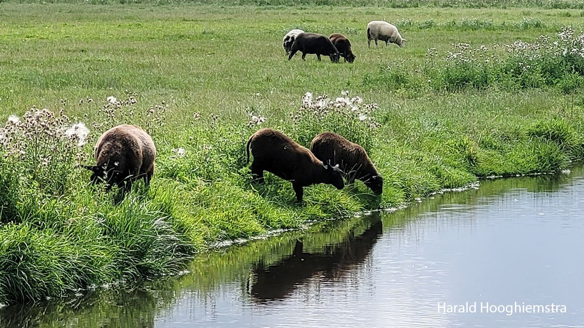 Harald-zomer21-schapen-LR