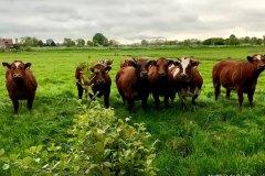 Matthijs-de-Bruijn-koeien-LR