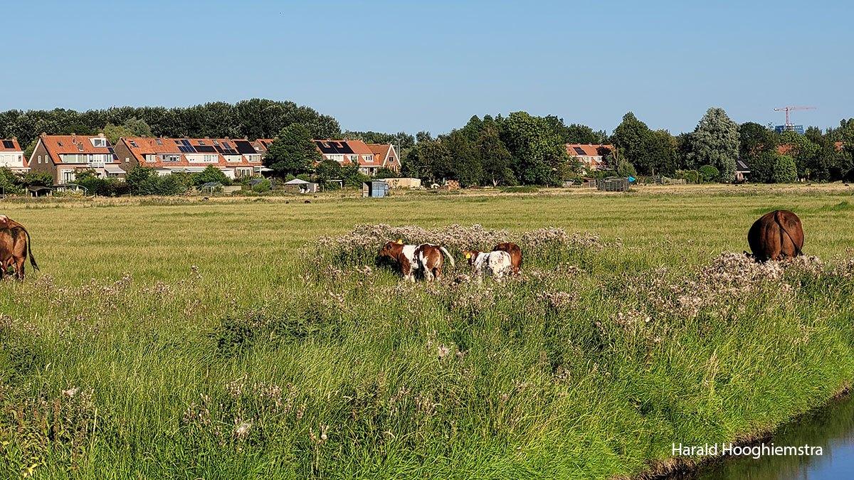 Harald-koeien-1