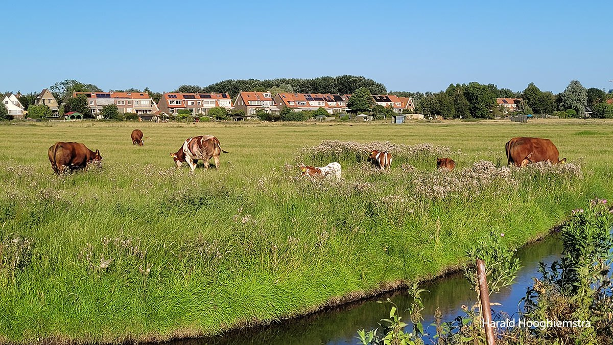 Harald-koeien-2