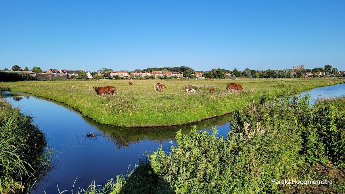 Harald-koeien-3