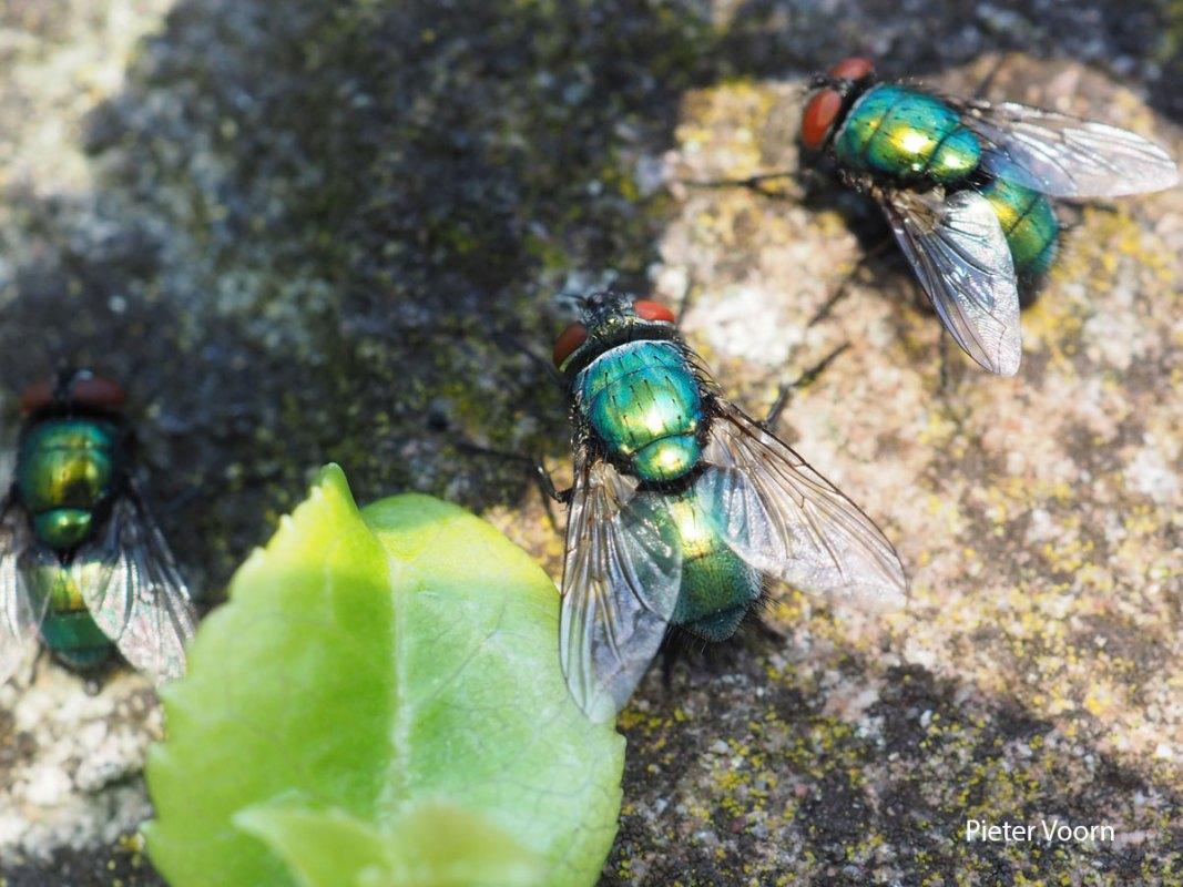 Pieter-Voorn-Groene-vleesvlieg-LR