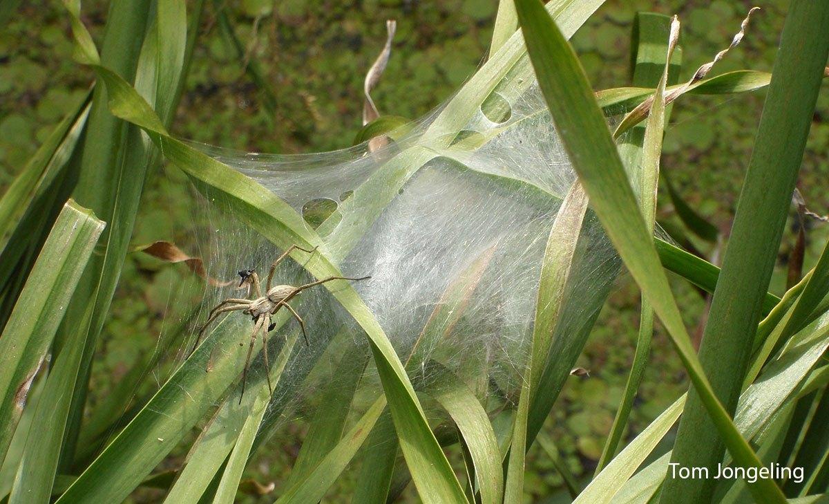 Tom-Kraamwebspin-bij-nest-LR