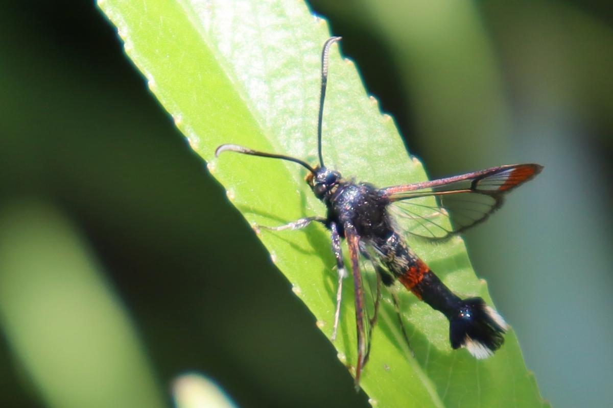 Wilgenwespvlinder-Synanthedon-formicaeformis-2021_06_06
