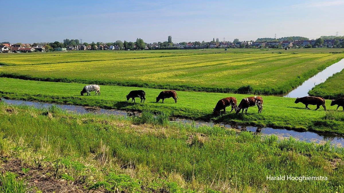 Harald-koeien-en-polder-LR