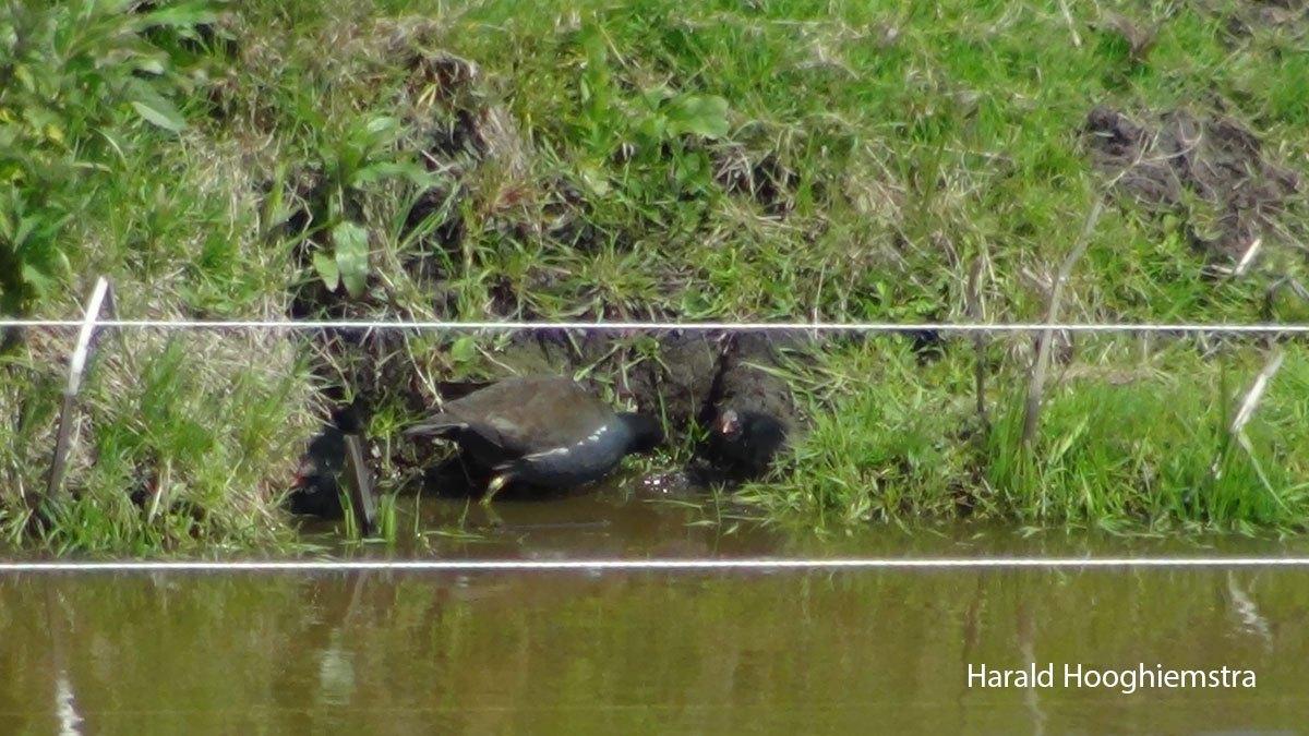 1_Harald-Hooghiemstra-waterhoen-202105010-LR