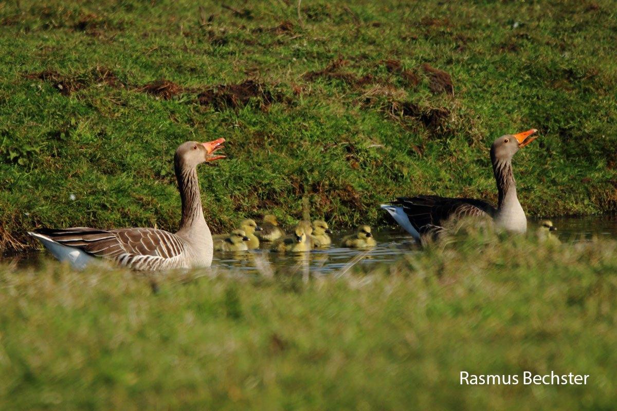 Rasmus-grauwe-ganzen-en-pullen-LR