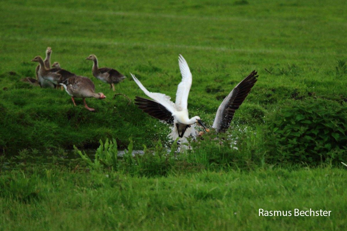 Rasmus-lepelaar-en-grauwe-gans-LR