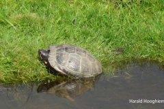 Harald-Geelbuikschildpad