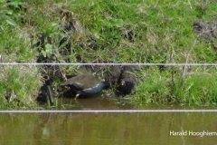 Harald-Hooghiemstra-waterhoen-202105010-LR